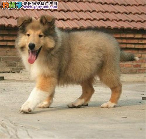 大型专业培育苏牧幼犬包健康可以送货上门2
