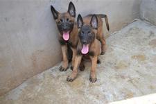 大型专业培育马犬幼犬包健康购犬可签协议