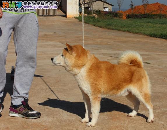 福州自家繁殖柴犬出售公母都有一分价钱一分货