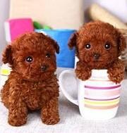 太原出售茶杯犬颜色齐全公母都有品质血统售后均有保障1
