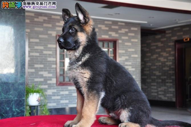 品质健康有保障郑州狼狗出售中购犬可签协议
