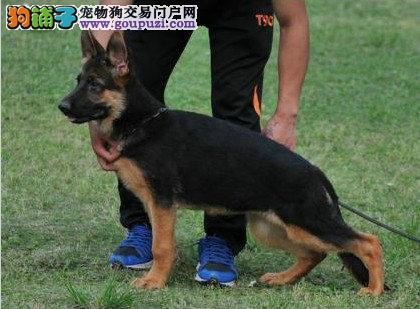 狼狗最大的正规犬舍完美售后CKU认证品质绝对保障