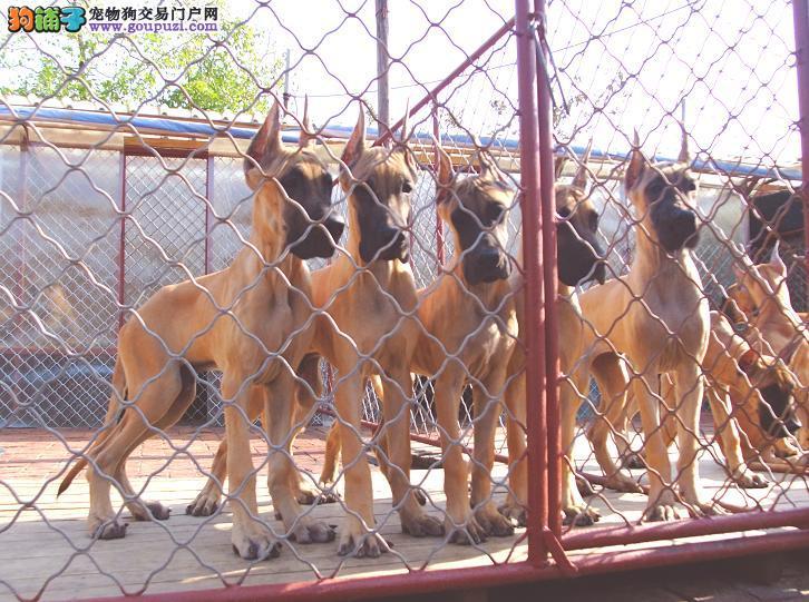 西安最大犬舍出售多种颜色大丹犬质量三包完美售后