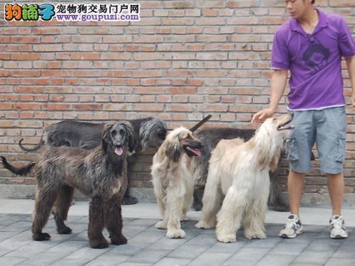 专业正规犬舍热卖优秀的阿富汗猎犬签正规合同请放心购买