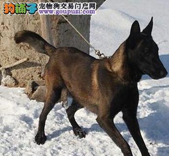 出售纯种健康的武汉马犬幼犬国际血统证书