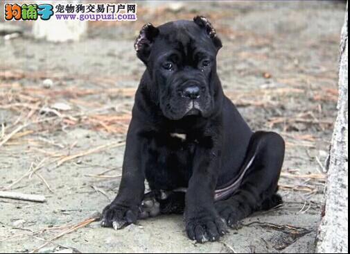 出售多只优秀的卡斯罗犬可上门喜欢微信咨询2