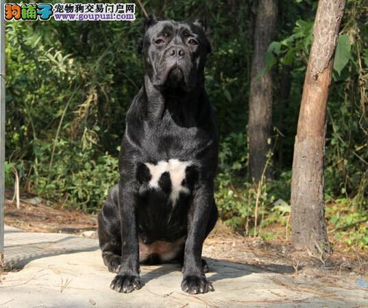 出售多只优秀的卡斯罗犬可上门喜欢微信咨询