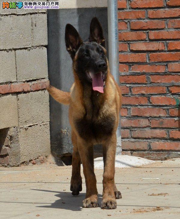 国际注册犬舍 出售极品赛级马犬幼犬签署各项质保合同