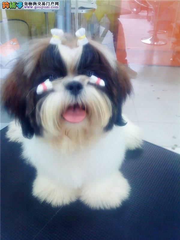 北京售精品小体西施犬 尊贵犬种 高端伴侣犬 玩赏犬