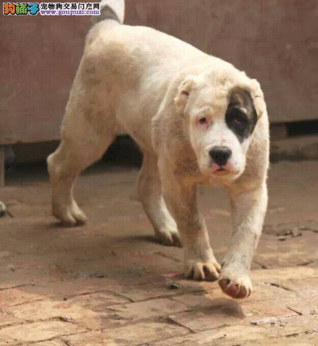 青岛热销中亚牧羊犬颜色齐全可见父母送用品送狗粮