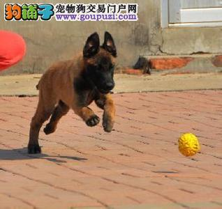 CKU犬舍认证太原出售纯种马犬欢迎您的指导