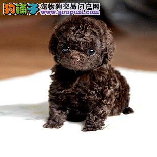 武汉实体店热卖茶杯犬颜色齐全微信看狗可见父母1