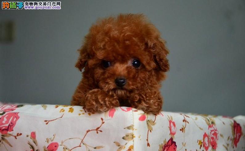 玩具体,纯种茶杯幼犬,大毛量好脸型 保证健康纯种道