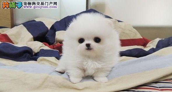 出售颜色齐全身体健康茶杯犬微信看狗真实照片包纯