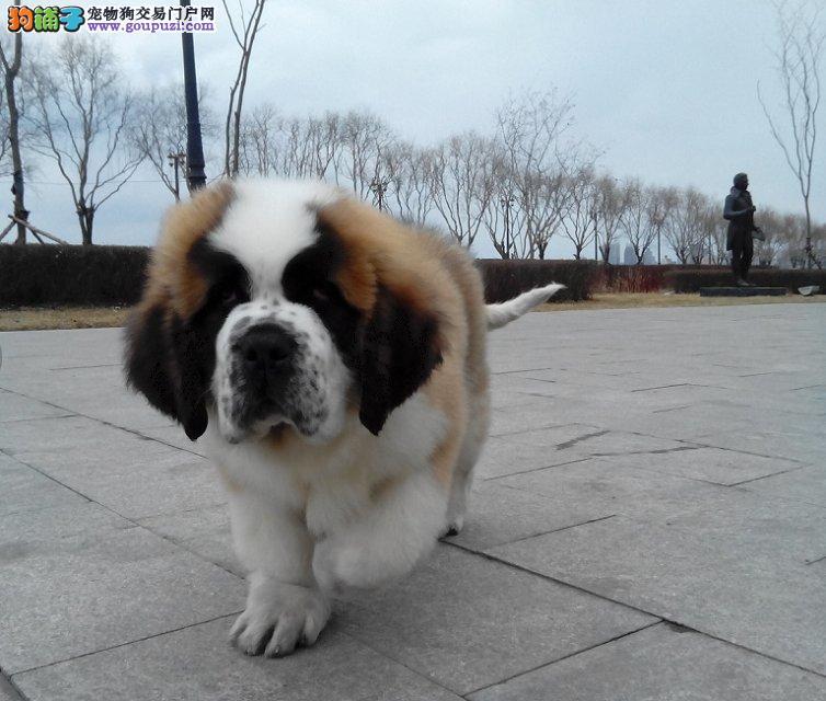 圣伯纳犬身上有很多皮屑,是为什么