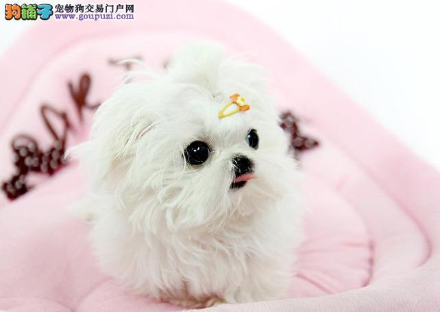 娇小可爱 纯白长毛马尔济斯犬幼犬玉溪出售