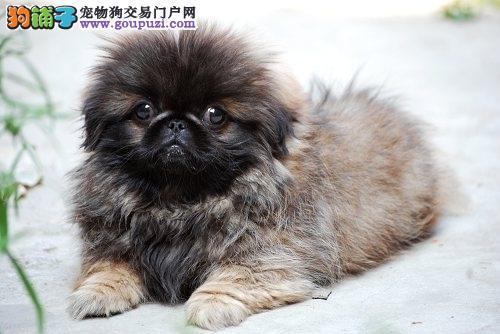 驻马店市出售京巴狗 包纯种健康 疫苗齐全 终身质保