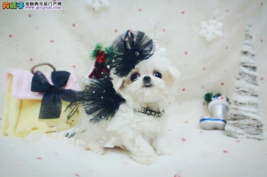 出售纯种的漂亮的马尔济斯幼犬 可上门选购1