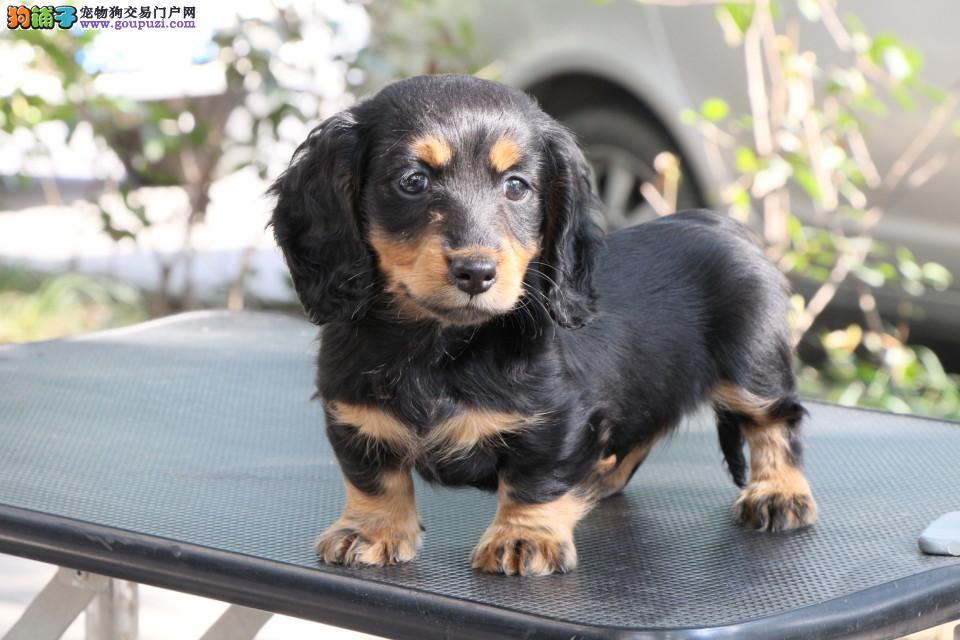 纯种腊肠犬出售 CKU认证犬舍 三包终生协议