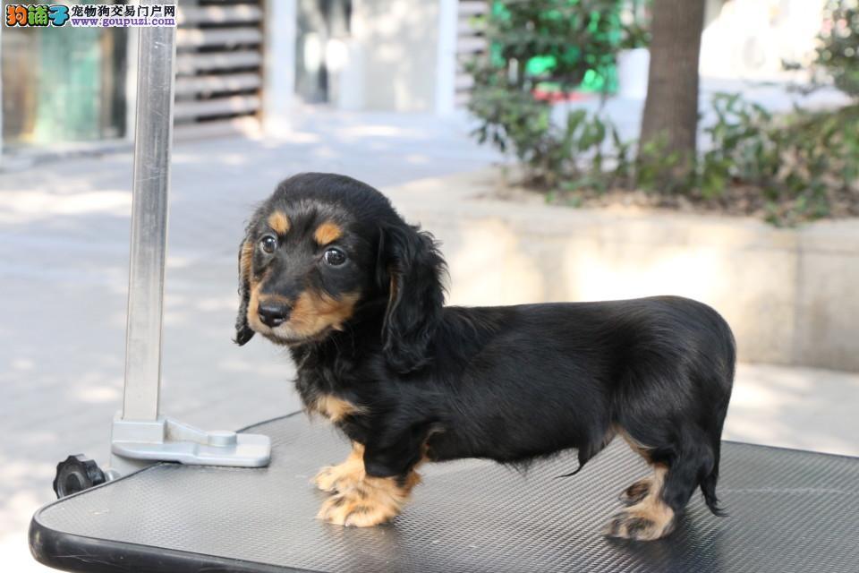 苏州售精品腊肠犬 短腿长身腊肠幼犬健康高品质出售