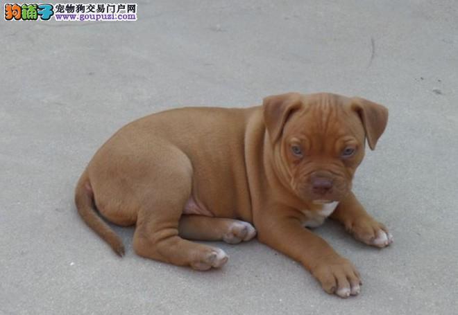 出售纯种比特犬 包健康 售后保障 疫苗齐全 协议质保1