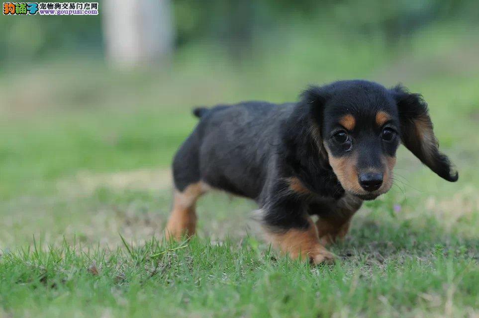 超级精品腊肠犬、精心繁育品质优良、寻找它的主人
