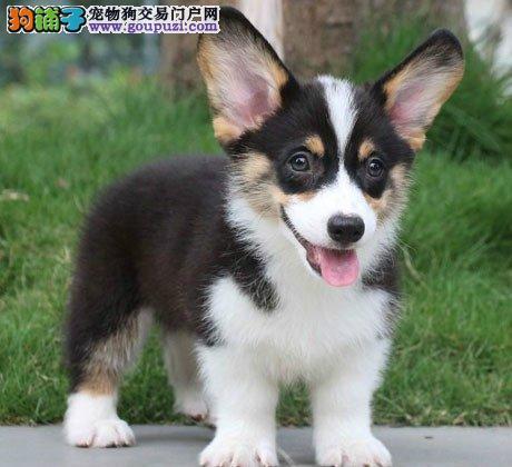 CKU国际认犬舍 犬舍直销 柯基幼犬 喜欢的联系