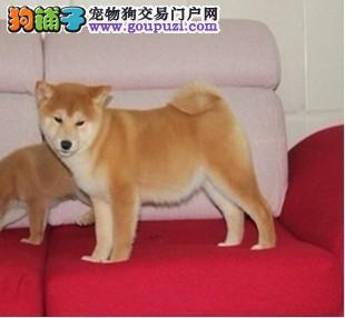 成都哪里出售纯种健康的柴犬成都纯种的柴犬什么价格4