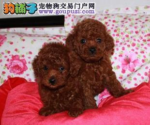 济南市出售茶杯犬幼犬 公母都有 疫苗齐全 终身售后