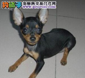 周口卖德系精品小鹿犬幼犬价钱低铁包金小鹿犬保障健康