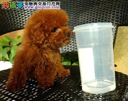 犬舍直销品种纯正健康天津茶杯犬支持全国空运发货