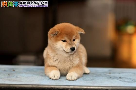 北京售柴犬 聪明可爱家庭伴侣犬 健康保障 自家繁殖