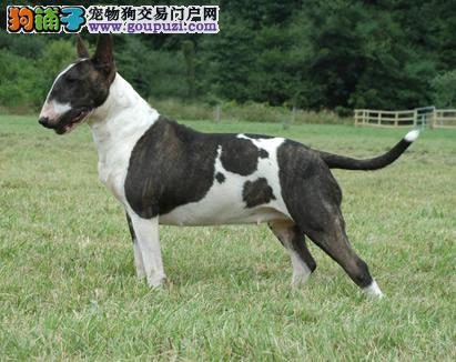 深圳哪里有卖纯种牛头梗犬