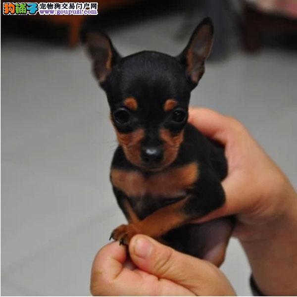 小鹿犬幼犬出售中,假一赔十价位最低,等您接它回家