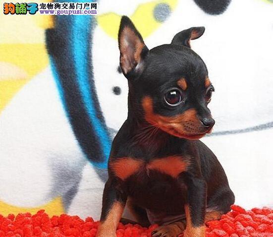 上海德系精品小鹿犬幼犬出售铁包金红色小鹿犬签署协议