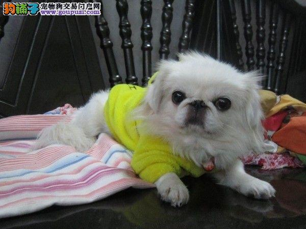 出售纯种京巴幼犬 正宗白黄色京巴犬北京犬玩赏犬狗狗