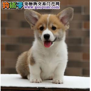 忠县售威尔士柯基犬幼犬公母全三针齐优质柯基犬