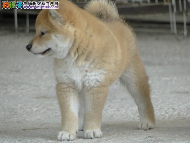 专业柴犬优生繁育基地 出售赛级日本柴犬