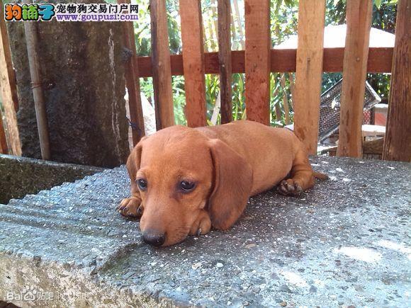 鉴定优秀的腊肠犬可以用到的方法