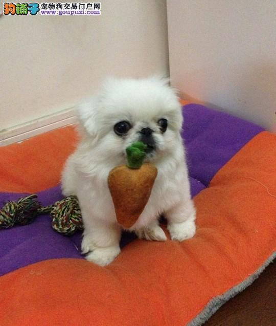 京巴幼犬出售中 实物拍摄直接视频 诚信经营保障