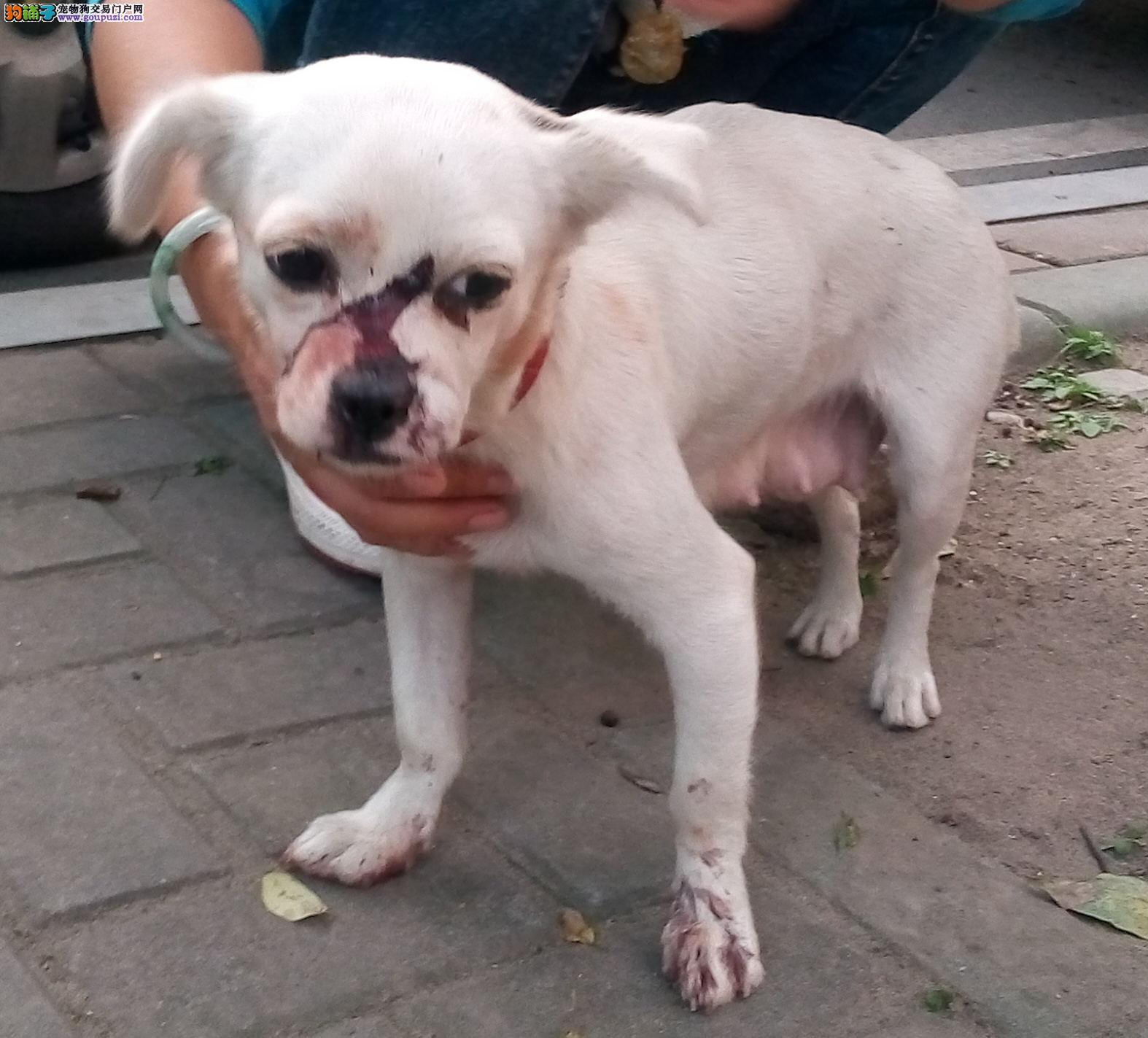 宜昌西陵区一只走失的白色狗妈妈找主人