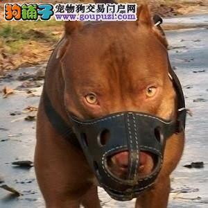高品质比特犬幼犬 真实照片视频挑选 签署合同质保