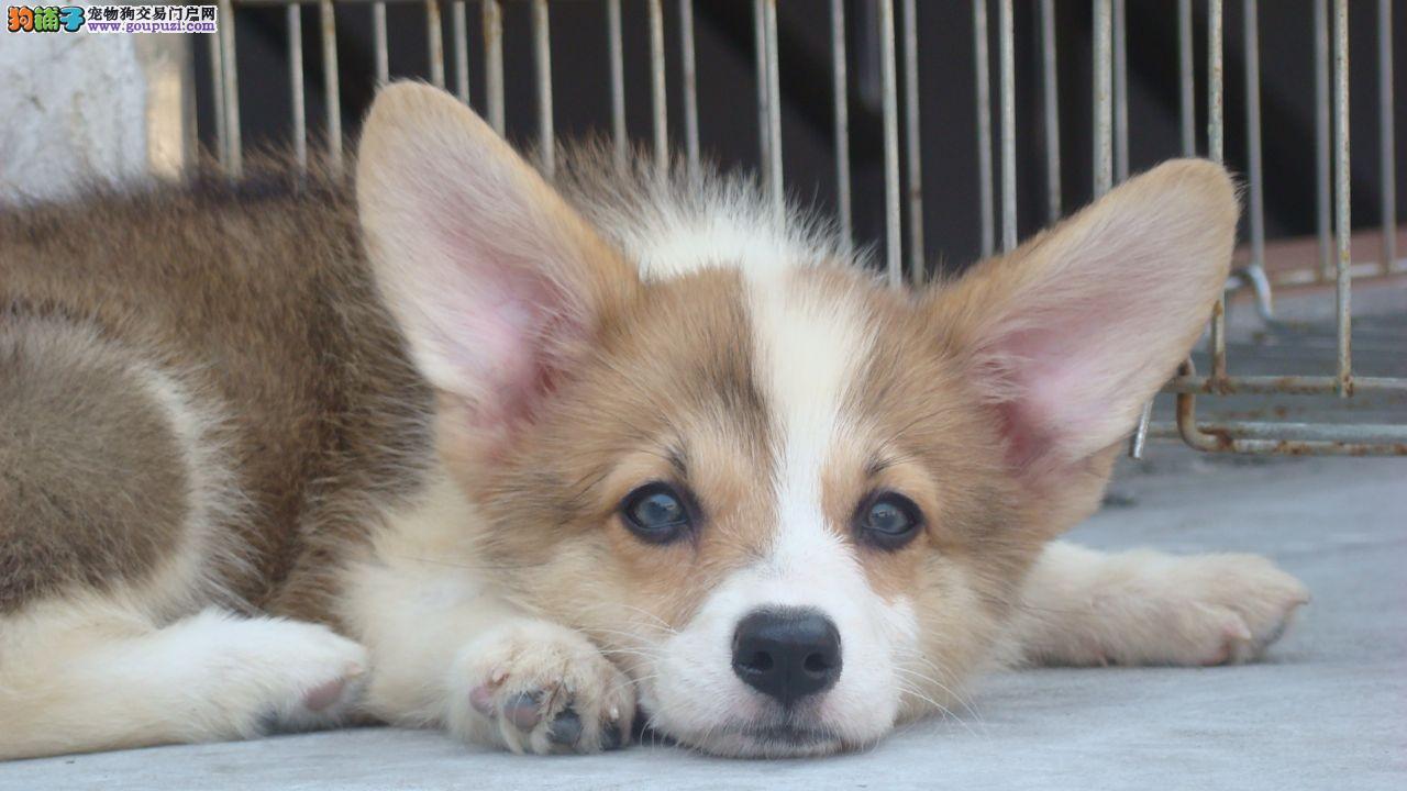 上海售纯种顶级柯基犬短粗腿 三色柯基 公母全有可挑选