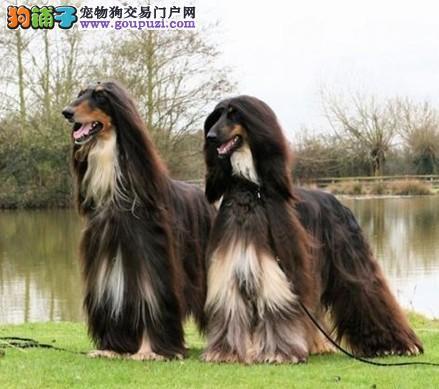 纯种阿富汗猎犬喜欢的朋友加微信看狗 咨询 郑州出售