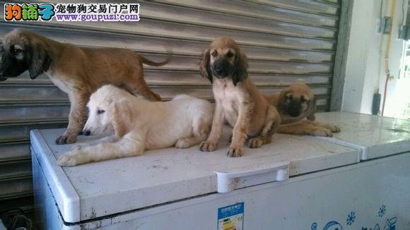 出售正宗血统优秀的武汉阿富汗猎犬请您放心选购
