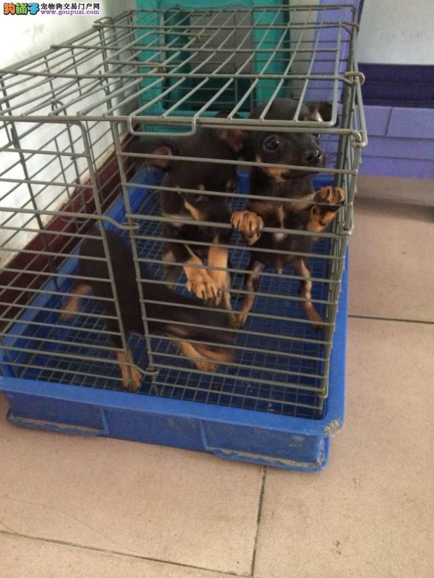 上海市嘉定区哪里有狗场出售小鹿犬 图片价格 包健康