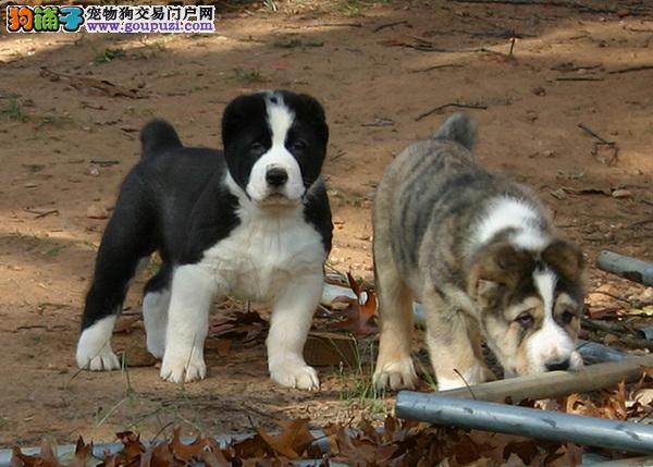 大连有中亚牧羊犬出售 正规犬舍包纯种健康疫苗齐全