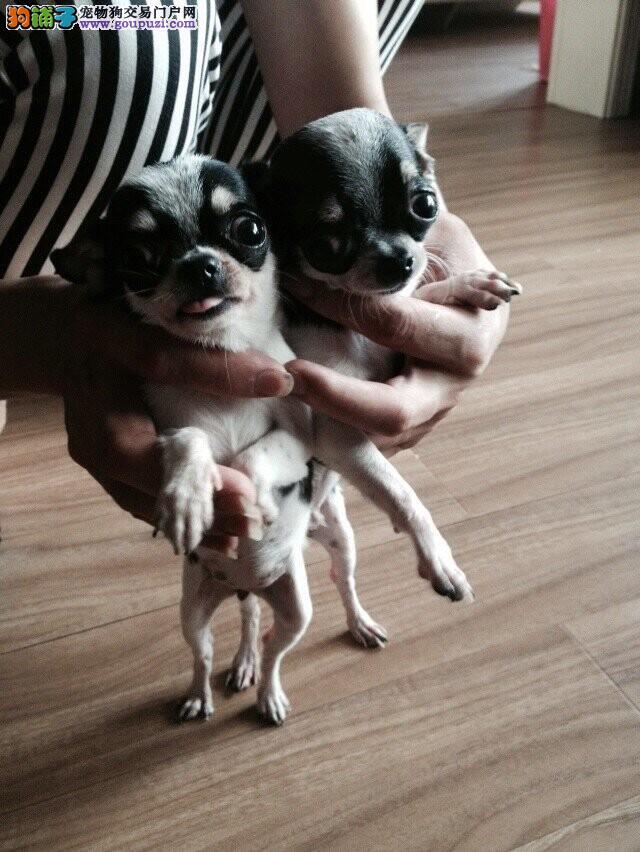 上海市嘉定区哪里有狗场出售宠物狗 包纯包健康