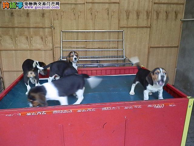 上海市嘉定区哪里有狗场出售比格犬图片价格