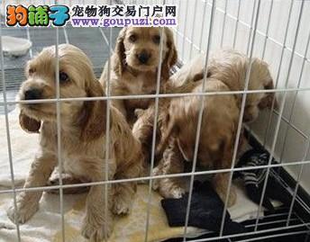 上海市嘉定区哪里有狗场出售可卡犬图片价格 包健康